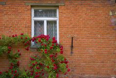 Red roses and wall. Red roses growing on brick wall Royalty Free Stock Photo
