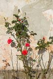 Red roses at the wall Stock Image
