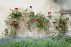 Red roses on a wall Royalty Free Stock Image