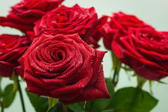 Red roses with water droplets. Magnificent fresh red roses with water droplets stock photo