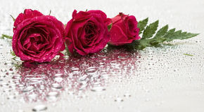 Red roses with water drops Stock Images