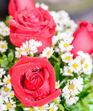 Red roses and water drops Royalty Free Stock Images