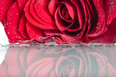 Red roses with water drops Royalty Free Stock Images