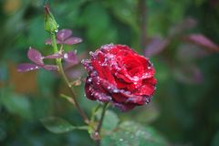 Red roses with water drops. After rain royalty free stock image
