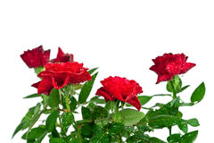 Red roses with water drops Royalty Free Stock Photo