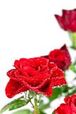 Red roses with water drops Stock Photos