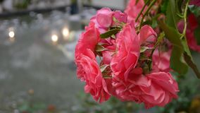 Red roses by the water fountain. Red roses with a fountain in the background stock footage