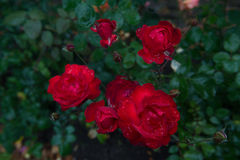 Red Roses with Waterdrops Stock Photos