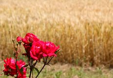 Red roses and the wheat field in the background Royalty Free Stock Photo