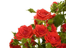 red roses on the white background Royalty Free Stock Photography