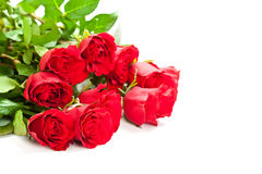 Red roses on white background Royalty Free Stock Images