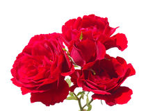Red roses on a white background Royalty Free Stock Images