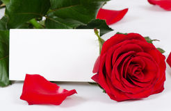 Red roses  on white background Royalty Free Stock Photo