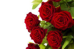 Red roses. On a white background Royalty Free Stock Images