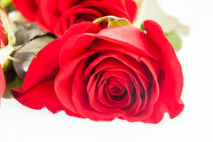 Red roses on white background Stock Images