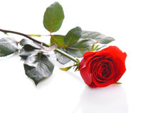 Red roses on a white background. Royalty Free Stock Photos