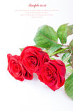 Red roses on a white background with sample text Stock Photo