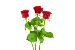 3 red roses on a white background Royalty Free Stock Image