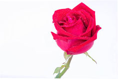Red roses on a white background. Royalty Free Stock Photography