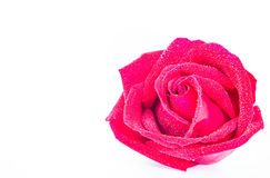 Red roses on a white background. Stock Images