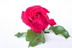 Red roses on a white background. Royalty Free Stock Photo