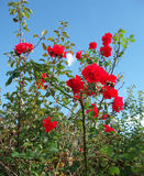 Red roses in wild nature royalty free stock photo