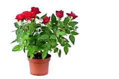 Red Roses With Water Drops In A Pot Stock Photo