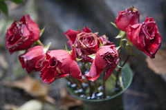 Red roses wither Stock Images