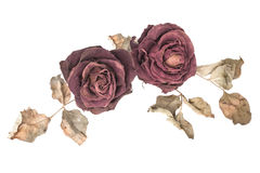 Red roses wither on white background. Royalty Free Stock Photo