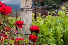 Red roses and wood post with vines in California vineyard Stock Photography