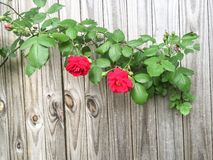 Red Roses on Wooden Fence Stock Image