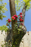 Red Roses wrapped around trees Royalty Free Stock Photography