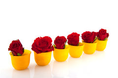 Red roses in yellow egg cups Stock Images