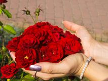 Red roses in woman`s hands. Red roses in a young woman`s hands stock image