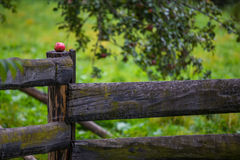 Red rotten apple with holes in it. Posted on a wooden fence post Royalty Free Stock Images