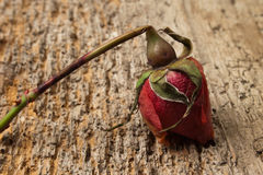 A Red Rotten Rose Royalty Free Stock Images