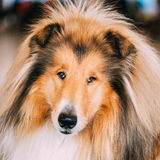 Red Rough Collie Dog. Close Up Portrait Stock Image
