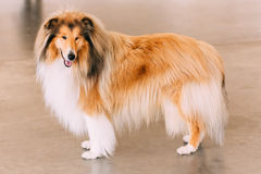 Red Rough Collie Dog. Full Length Portrait On Brown Floor Royalty Free Stock Photo
