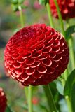 Red round dahlia flower Royalty Free Stock Photography