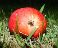 Red Round Fruit on Green Grass Royalty Free Stock Photo
