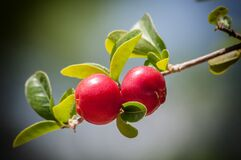 Red Round Fruit on Stem Royalty Free Stock Image