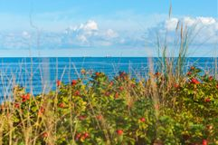 The red round rose hips on branches, wild rose of the sea royalty free stock photography