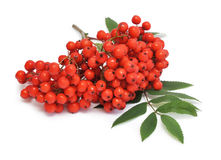 Red rowan. And a leaf on white background stock photography