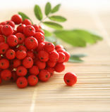 Red Rowan Royalty Free Stock Photography