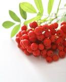 Red rowan Stock Photography