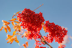 Red rowan in the autumn Royalty Free Stock Photo
