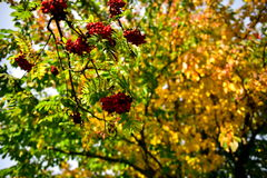 Red rowan. Autumn fruit on the bushes, red, dry brown leaves, sun relaxation, the last a beautiful autumn day, a walk in the park or the garden in the background Royalty Free Stock Image
