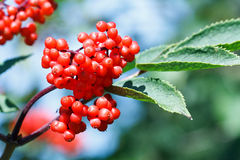 Red rowan berries Stock Photos