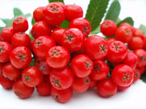 Red rowan berries Stock Photo