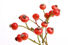 Red rowan berries. Delicious red berries on a white background stock photography